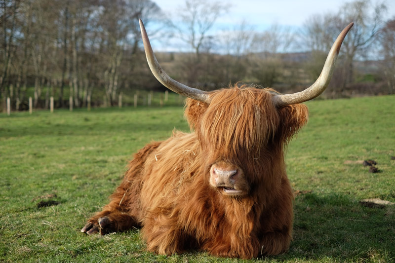 Animals That Stole My Heart The Highlands Cow Edition Chevening